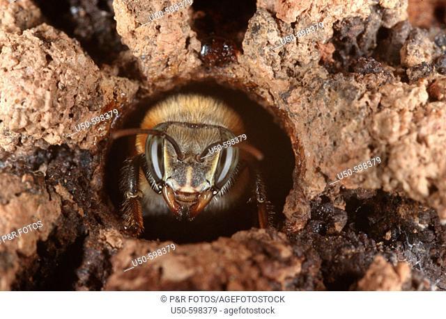 Melipona bicolor (stingless bee) worker at nest entrance, Apidae, Viçosa. Minas Gerais. Brazil