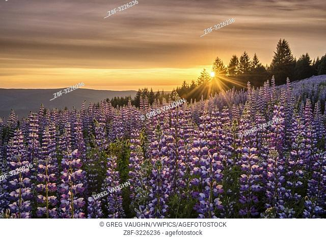 Lupine at Dolason Prairie, Redwoods State and National Parks, California