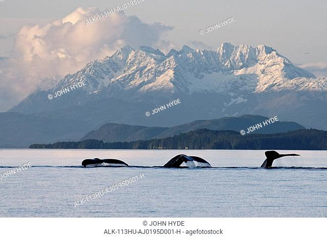 Humpback Whale pod lifts their flukes just before sliding back beneath the waters of Lynn Canal with the snow covered peaks of Coastal Range in the background