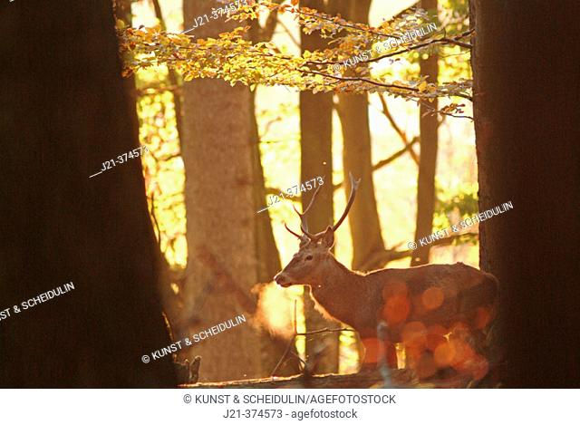 Stag (Cervus elaphus) in autumn forest. Bavaria, Germany