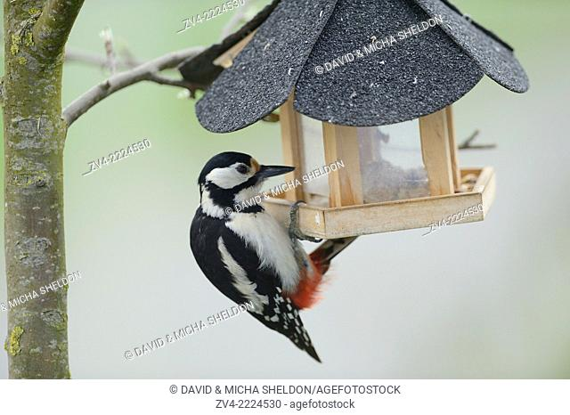Close-up of a Great Spotted Woodpecker (Dendrocopos major) at a bird feeder in spring