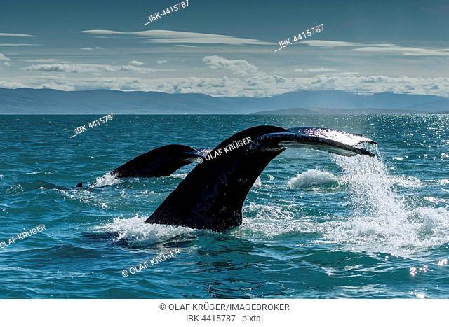 Tail, flukes, diving humpback whales (Megaptera novaeangliae), Eyjafjörður, Iceland