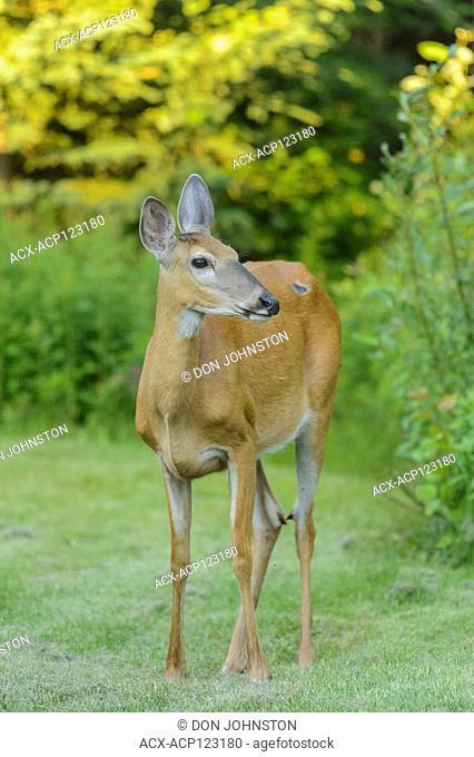 White-tailed deer (Odocoileus virginianus) adult female, visiting a rural backyard, Greater Sudbury, Ontario, Canada