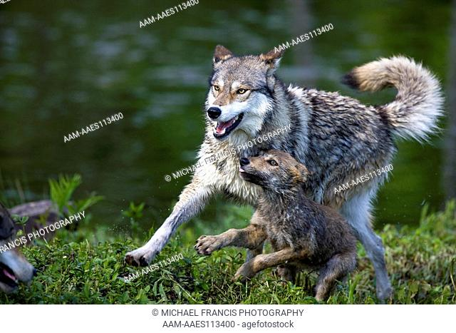 Wolf 'Gray Wolf' or 'Timber Wolf' (Canis lupus), adult with young pup during spring , Sandstone, Minnesota, USA