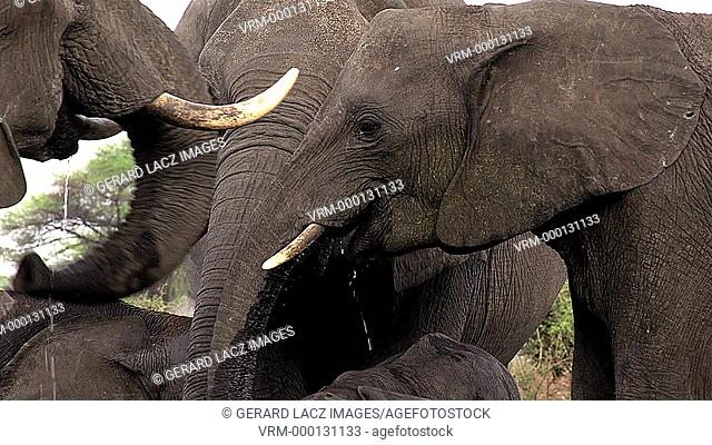 African Elephant, loxodonta africana, Group drinking water Near Chobe River, Botswana, Real Time