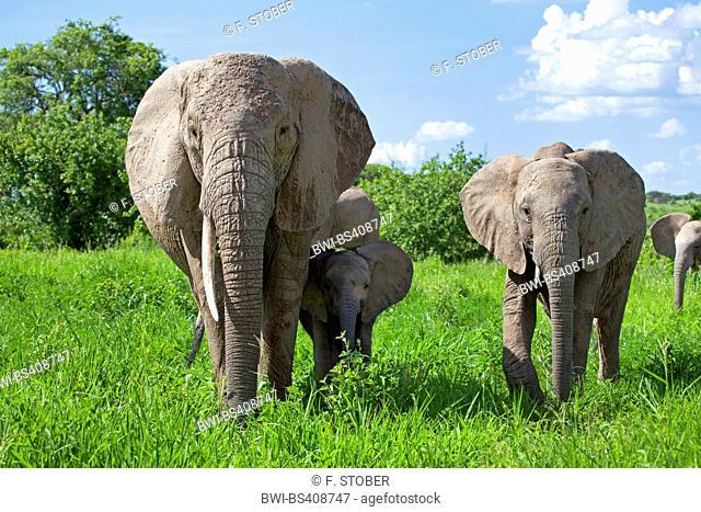 African elephant (Loxodonta africana), cow elephant with calves on grass, Kenya