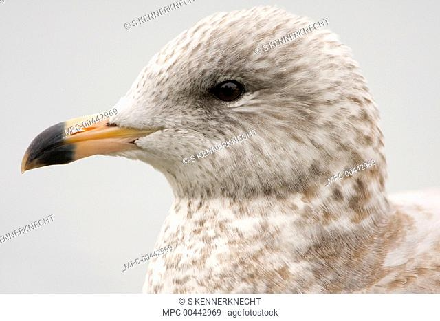 Ring-billed Gull (Larus delawarensis) juvenile, Baylands Nature Preserve, Bay Area, California