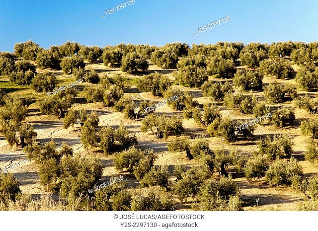 Olive grove, Arjona, Jaen province, Region of Andalusia, Spain, Europe