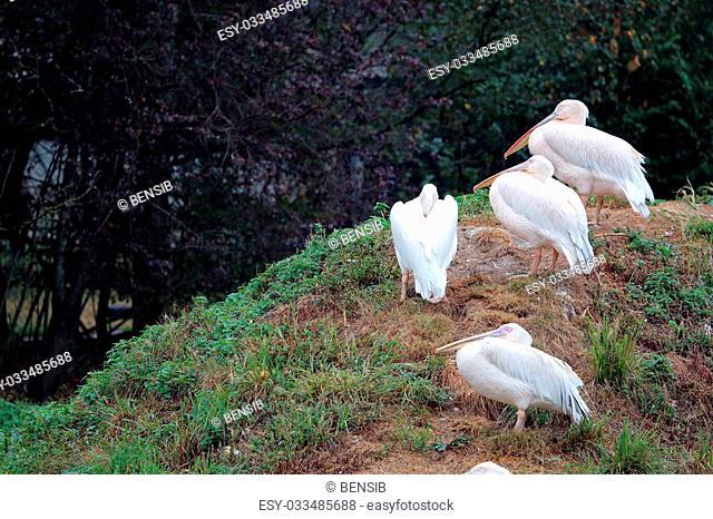 Great White Pelican (Pelecanus Onocrotalus) In The Summer Rain
