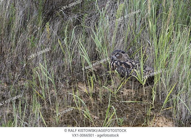 Eurasian Eagle Owl ( Bubo bubo ), grown up, lying, hiding, sleeping in the grass covered slope of a gravel pit, wildlife, Europe