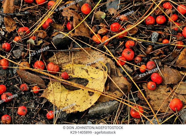 Fallen pine needles and mountain ash berries