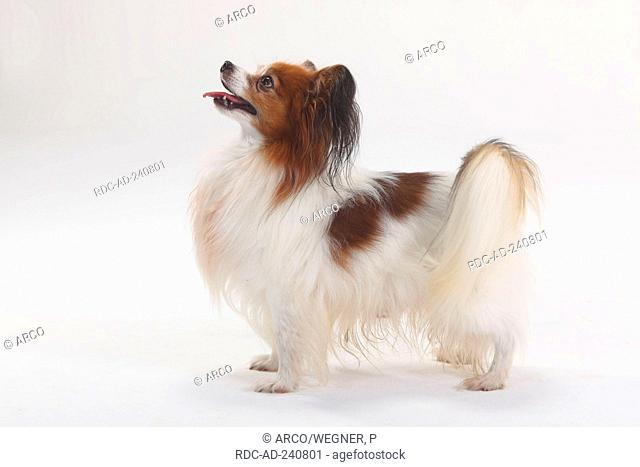 Papillon Continental Toy Spaniel Butterfly Dog side