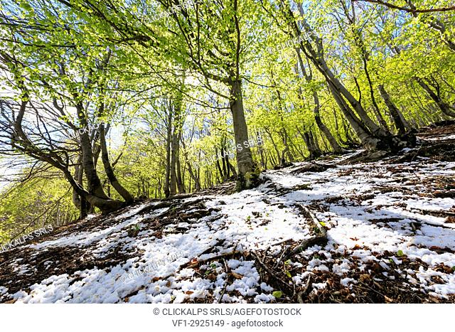 Sun on tall trees in the woods covered with snow in spring Montemezzo Alpe Zocca Como province Lombardy Italy Europe