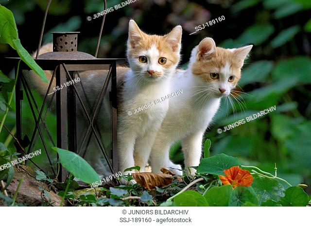 Domestic cat. Two kittens standing next to a rusty lantern in a garden. Germany