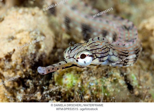 Brown-banded Pipefish, Corythoichthys haematopterus, Marovo Lagoon, Solomon Islands