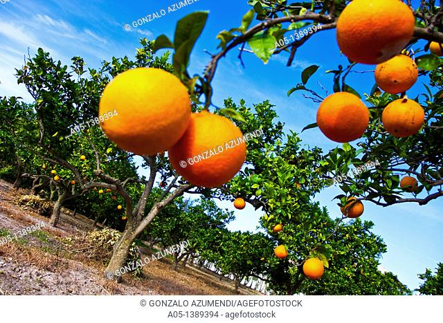 Oranges, Orange tree, Albufera of Valencia Natural Park, Valencia, Comunidad Valenciana, Spain