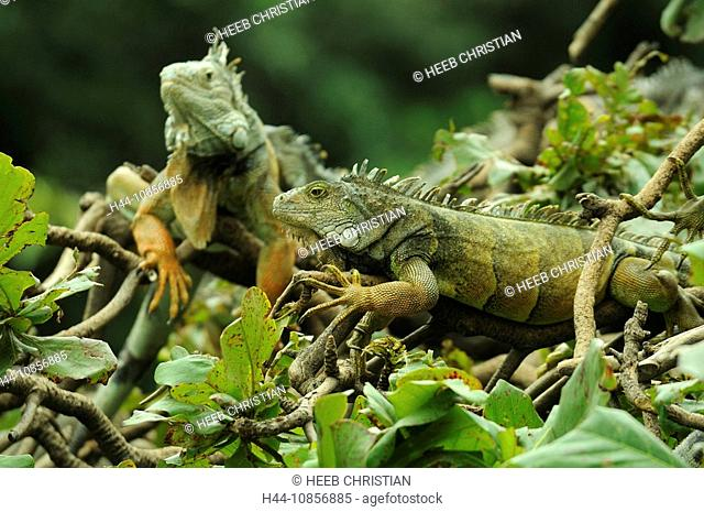 10856885, Ecuador, Green Iguana, at Parque Seminar