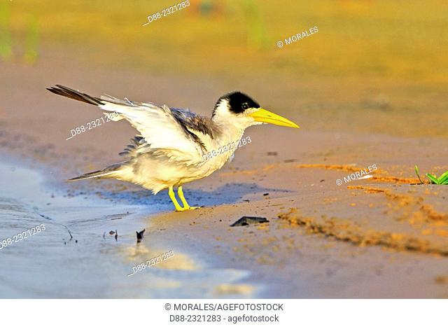 South America,Brazil,Mato Grosso,Pantanal area,Large-billed Tern (Phaetusa simplex),grooming
