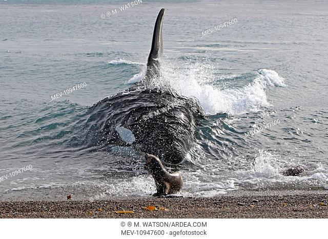 Orca / Killer Whale - attack on young South American Sea Lion (Otaria flavescens) (formerly Otaria byronia) Valdes Peninsula, Patagonia, Argentina