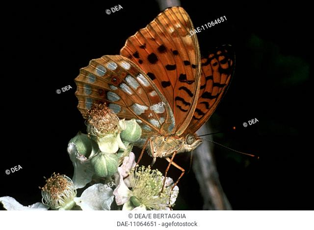 Zoology - Insects - Lepidopters - Butterfly - High Brown Fritillary (Fabriciana adippe)