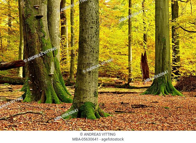 nearly natural mixed deciduous forest with old oaks and beeches in autumn, Spessart Nature Park, Weibersbrunn, Bavaria, Germany, Europe