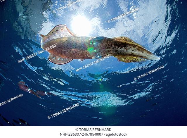 Bigfin reef squid; sepioteuthis lessoniana; Fiji