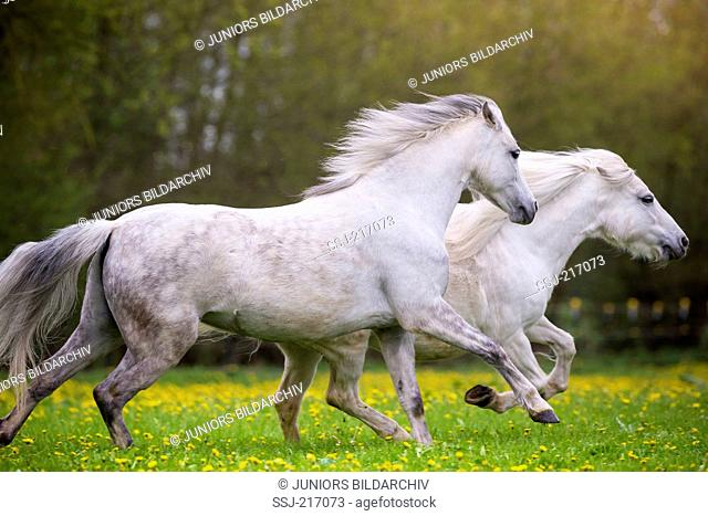 Welsh Pony (Section B). Gray mare galloping on a pasture, chasing a Shetland Pony. Germany