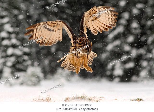 Eurasian Eagle Owl fly