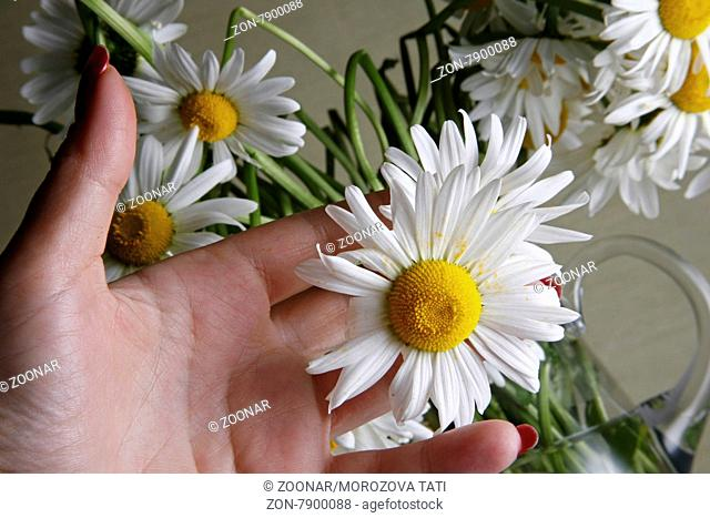 Female hand and bouquet of camomiles