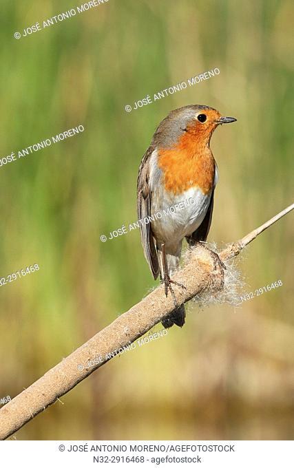 European Robin (Erithacus rubecula). Malaga, Andalusia, Spain