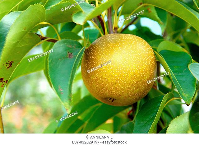 Olympic Asian Pear Tree in summer. Asian round pears are the oldest cultivated pears in the world, dating to 1100 BC