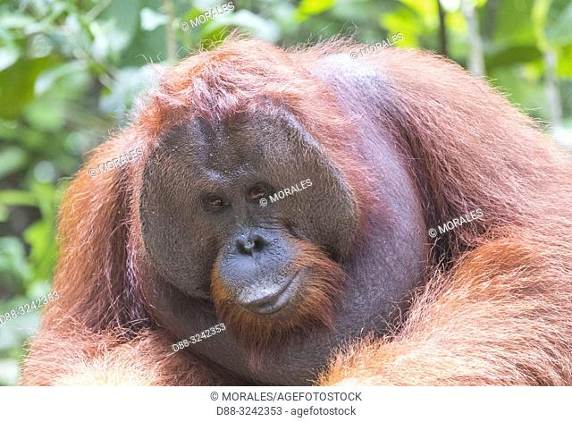 Asia, Indonesia, Borneo, Tanjung Puting National Park, Bornean orangutan (Pongo pygmaeus pygmaeus), adult male