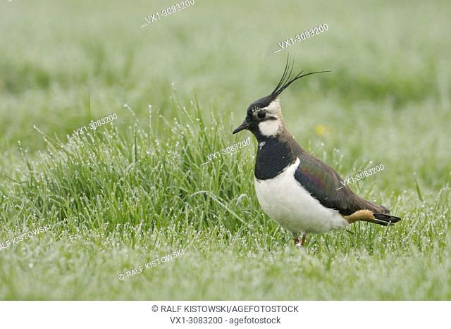 Lapwing ( Vanellus vanellus ), beautiful adult, male, standing on a wet meadow, looking attentive around, wildlife, Europe