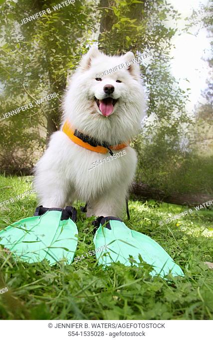 A female Samoyed dog outdoors in Spokane, Washington, USA