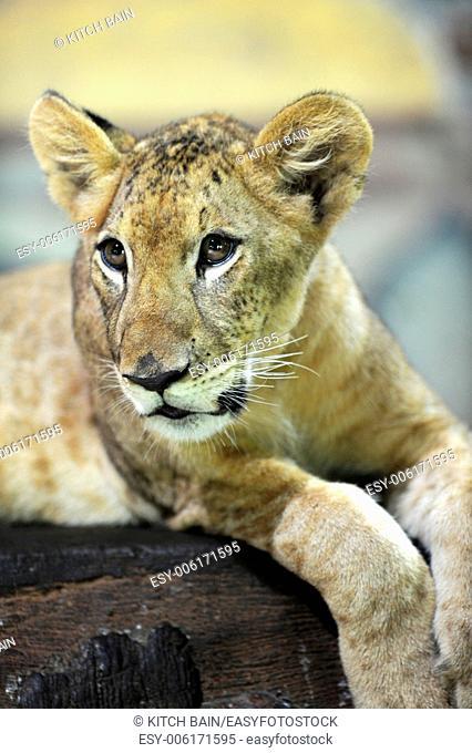 A close up shot of a Lion Cub