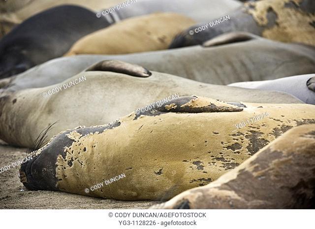 Northern Elephant seals - Mirounga angustirostris - laying on beach, San Simeon, California