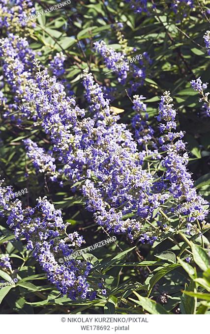 Chaste tree (Vitex agnus-castus). Called Vitex, Chasteberry, Abraham's balm, Lilac Chastetree and Monk's pepper also