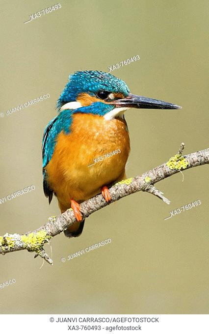 European Kingfisher (Alcedo atthis) perched on a branch
