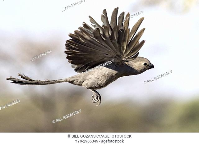 Grey go-away-bird (Corythaixoides concolor) in flight - Onkolo Hide, Onguma Game Reserve, Namibia, Africa