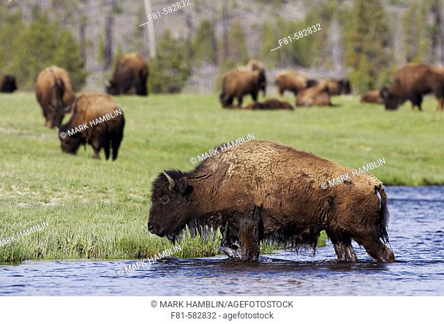 Bison (Bison bison) adult crossing Madison River to reach fresh grazing meadow Yellowstone National Park, USA
