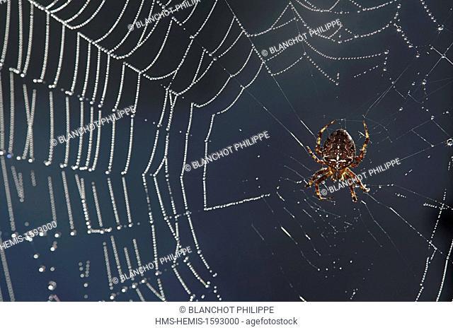 France, Araneae, Araneidae, European garden spider (Araneus diadematus) on its web with dewdrops