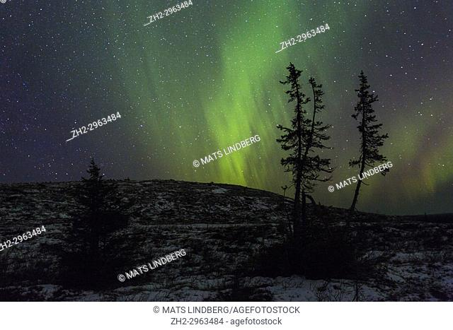 Northern light, Aurora borealis seen from Mount Dundret, some spruce trees in the foreground and little snow on the ground, Gällivare, Swedish Lapland, Sweden