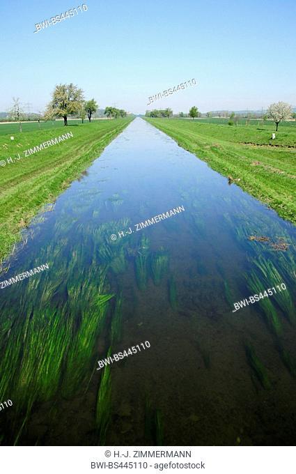 river water-crowfoot (Ranunculus fluitans), in a regulated river, Germany, Baden-Wuerttemberg