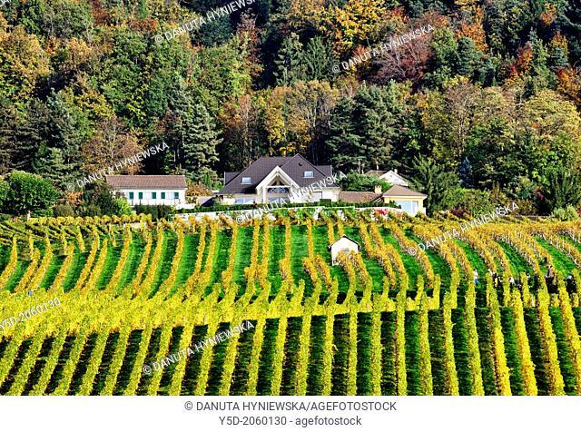 Europe, Switzerland, canton Vaud, La Côte, Nyon district, Mont-sur-Rolle, vineyards in autumn