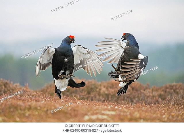 Black Grouse (Tetrao tetrix) two adult males, fighting at lek on moorland, Cairngorms, Highlands, Scotland, April