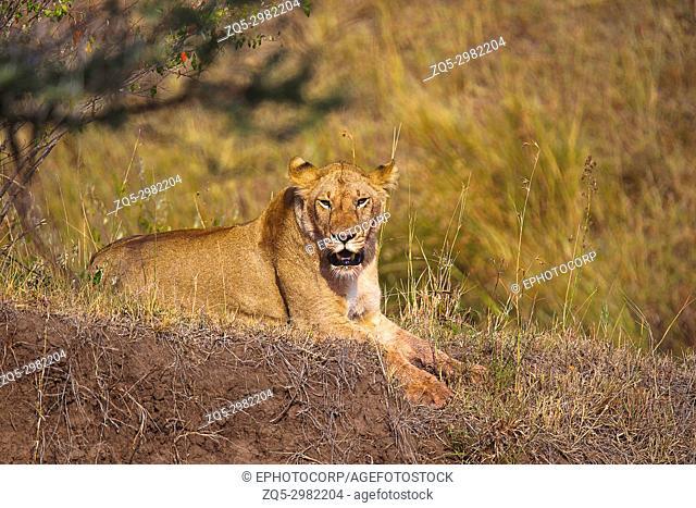 African Lion- female, Kenya, Africa