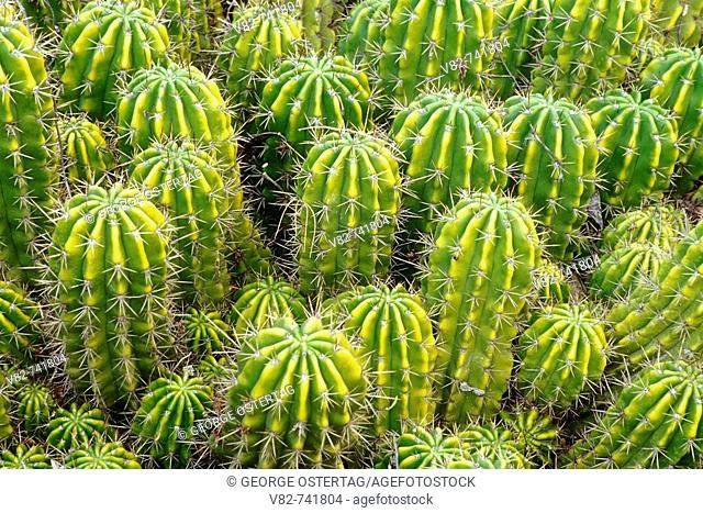 Easter lily cactus, Desert Botanical Garden, Papago Park, Phoenix, Arizona, USA