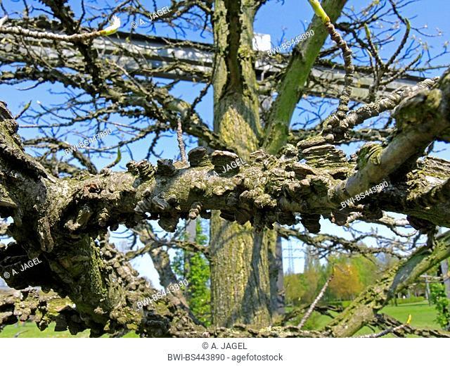 Satin Walnut, Sweet Gum, Red Gum (Liquidambar styraciflua), branches with cork layers
