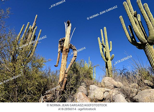 The skeleton or remains of a deceased saguaro cactus, (Carnegiea gigantea), in the foothills of the Santa Catalina Mountains, Sonoran Desert, Catalina, Arizona