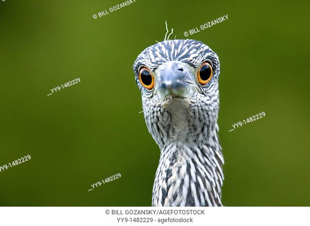 Juvenile Yellow-crowned Night Heron - Green Cay Wetlands - Delray Beach, Florida USA